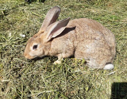Al via anche la filiera coniglio